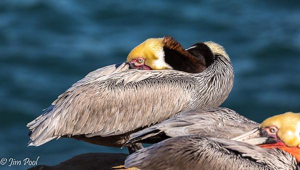 Pelicans 2019