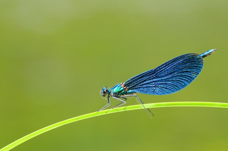 Calopteryx virgo , Blå jungfruslända