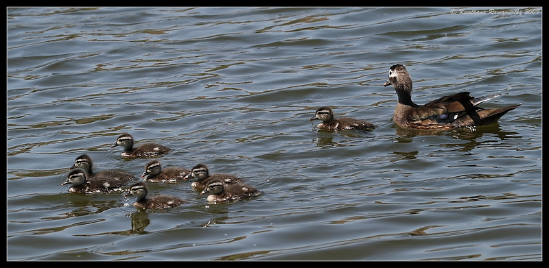 Female Wood Duck with chicks, Santee Lakes, San Diego County, California, May 2009