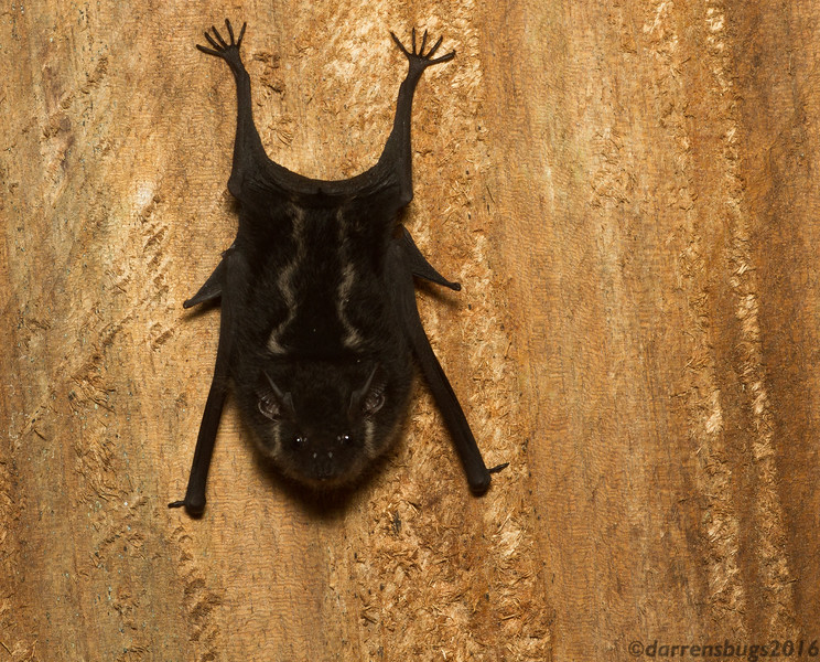 These cute little bats were a common sight napping in the showers in Cocobolo Nature Reserve in Panama.