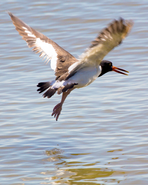 An American Oyster Catcher in flight