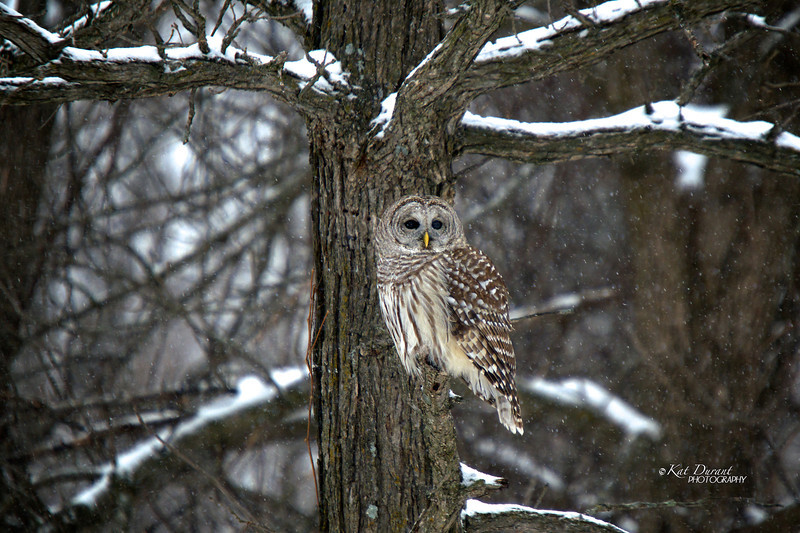 First Snowy Owl AND a BARRED OWL