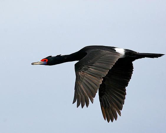 PHALACRORACIDAE Shags and Cormorants