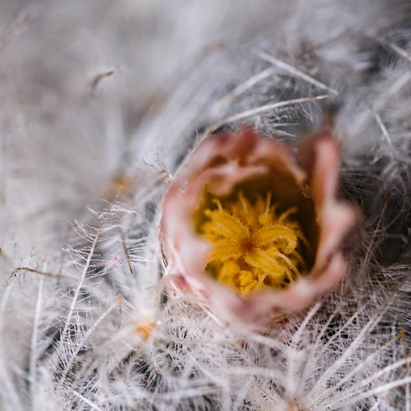 feather cactus flower-1190.jpg