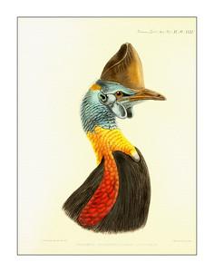 Bird Prints, Prints of the Cassowary of New Guinea