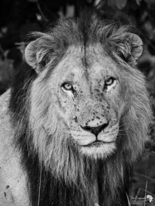 Lion Portrait in B&W