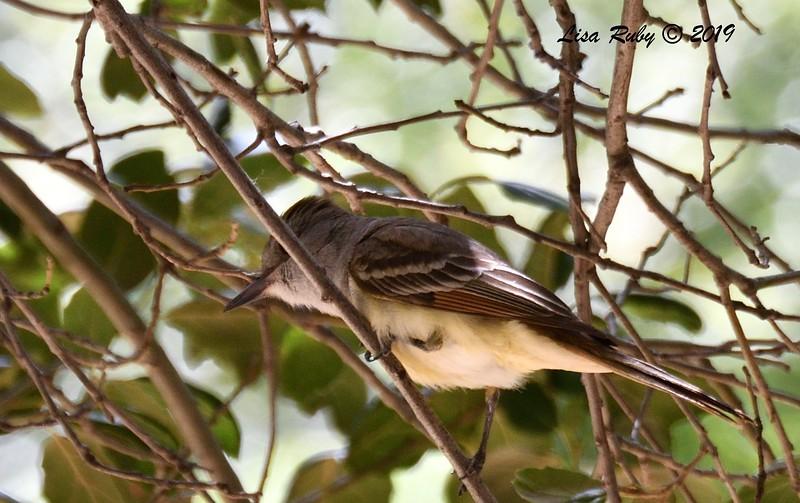 Ash-throated Flycatcher  - 5/15/2019 - Kitchen Creek, Cibbet Flats Campground