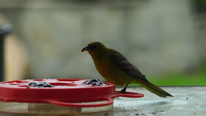 Oriole eating jelly 2
