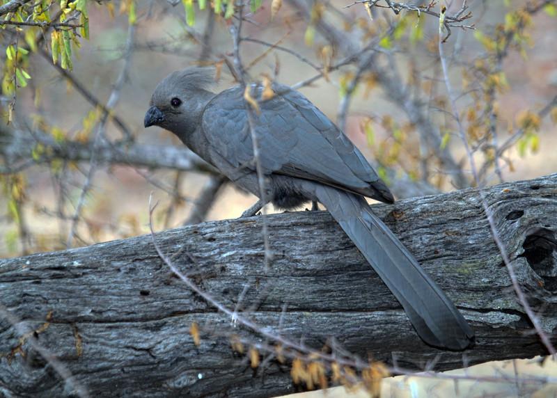 GO AWAY BIRD - SOUTH AFRICA
