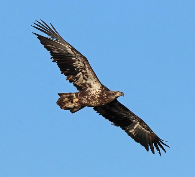 Bald eagle 72
