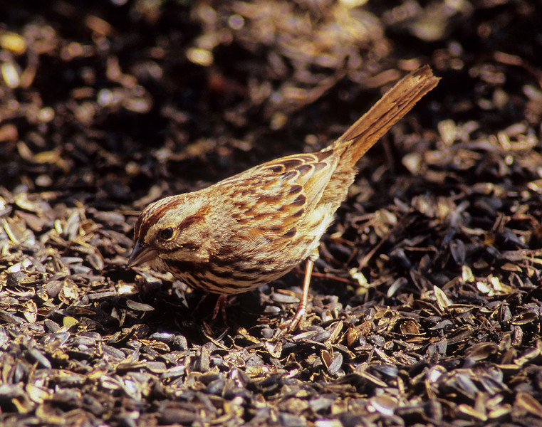 Seeds Galore!  Song Sparrow from Burnett Woods