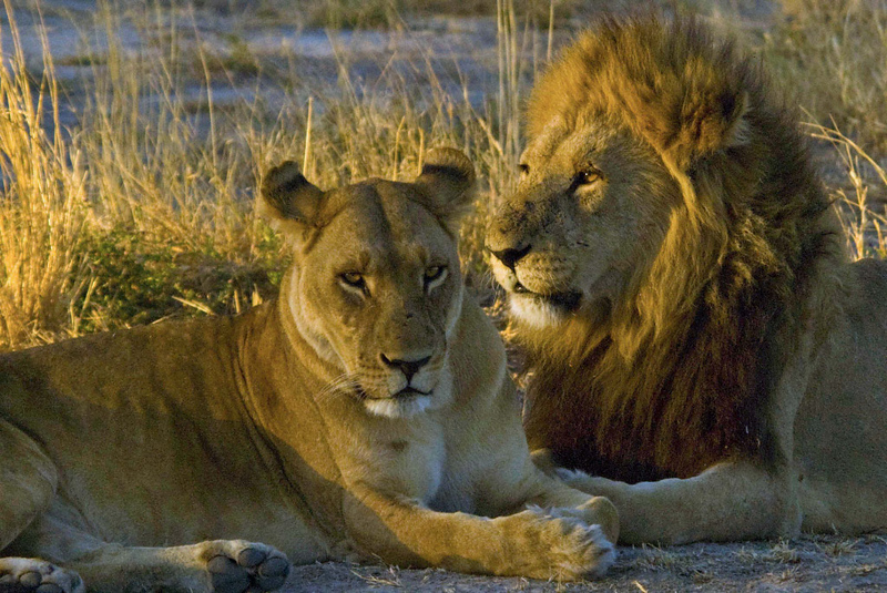 Lion Couple2.jpg