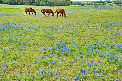Jay directed us to these three horses grazing in a field of bluebonnets along I-10 from Schulenburg..