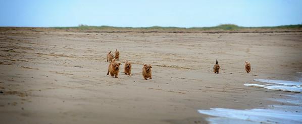 Terriers beach 34 x 13