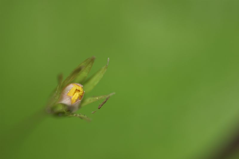 wildflowerbud.jpg