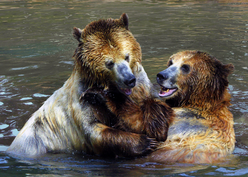 GRIZZLY BEARS - ALASKA