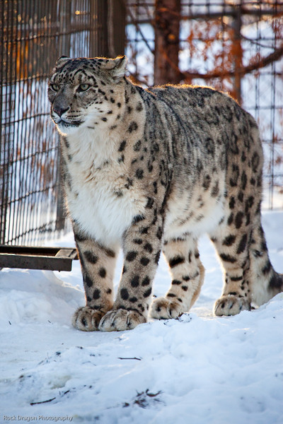 Snow Leopard, Calgary Zoo Dec. 27