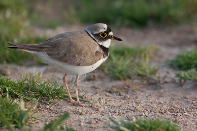 Little ringed plover (Chorlitejo chico)