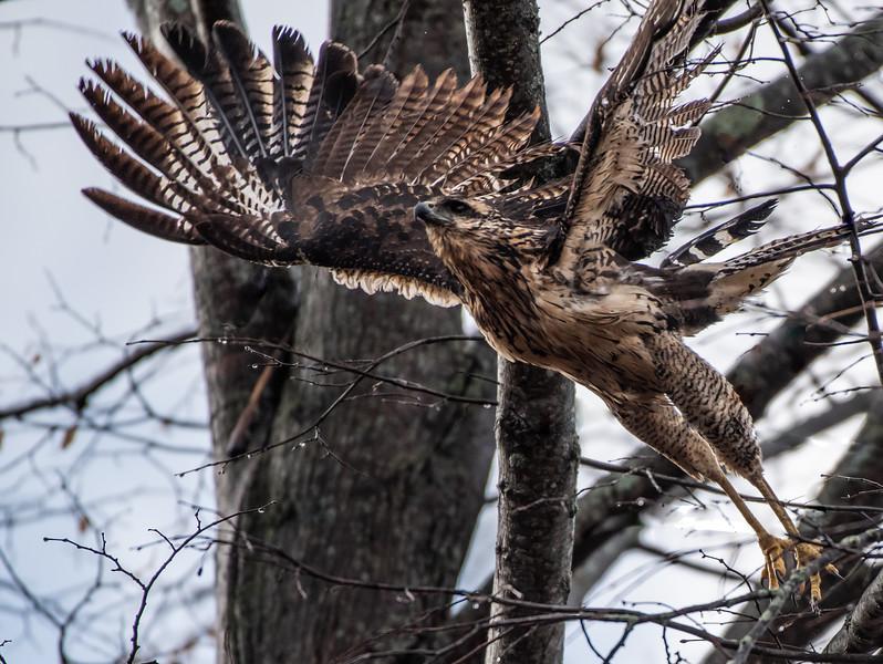 Great Black Hawk (juvenile)