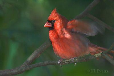 Tanagers, Cardinals, Grosbeaks,  Buntings
