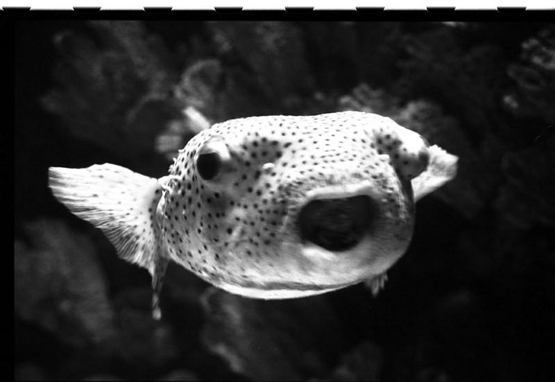 blowfish2.jpg