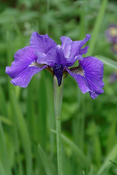 Iris (6).jpg