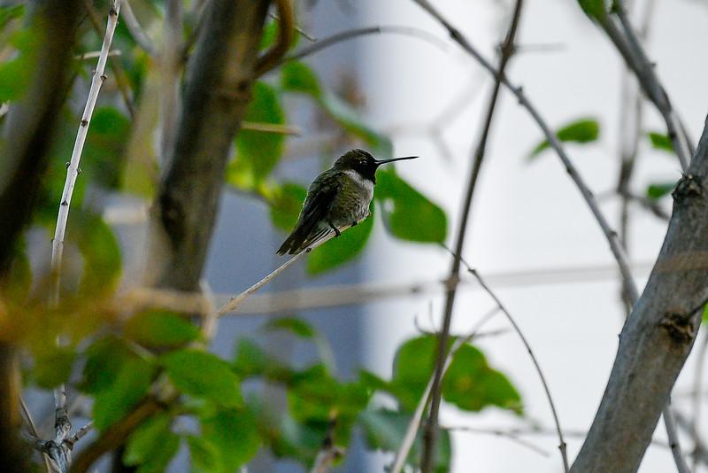 21MayHummingbirds (34 of 53).jpg