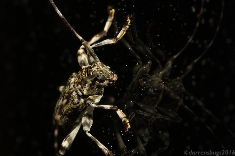 Flat-faced Longhorn Beetle, Graphisurus fasciatus, from Wisconsin.
