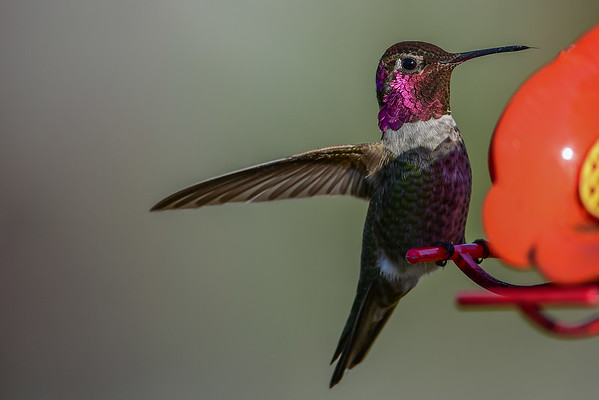 11-21-16 Anna's Hummingbird - RBS