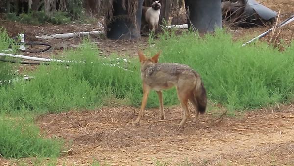 Cat vs Coyote October 2 2018