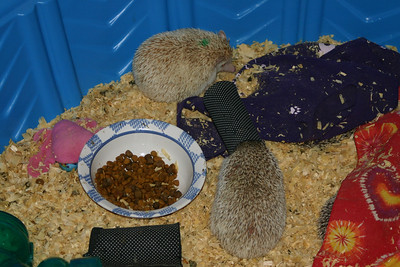 Hedgehogs Playing in the Pool (10/27/2004)