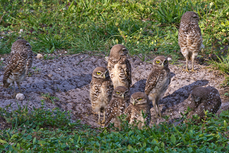 All Grown Up - A Burrowing Owl Family Brian Piccolo Park Cooper City, Florida © 2012