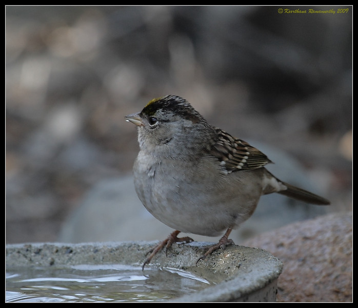 Golden-Crowned Sparrow, The Drip, Cabrillo National Monument, San Diego County, California, November 2009