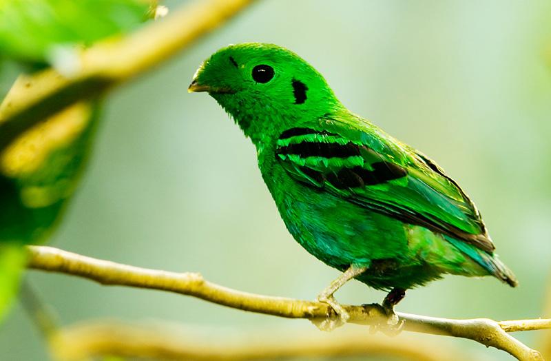 green-broadbill-calyptomena-viridis_119176168_o.jpg
