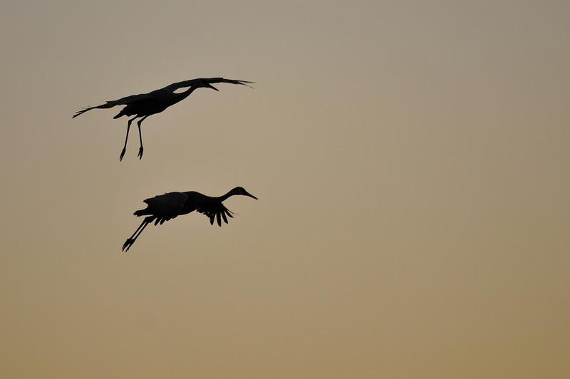 Sandhill cranes at sunset, Bosque del Apache