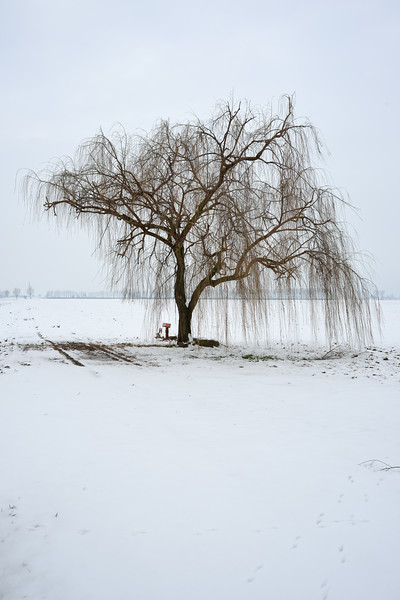 Weeping Willow - Sant'Agata Bolognese, Bologna, Italy - February 12, 2013