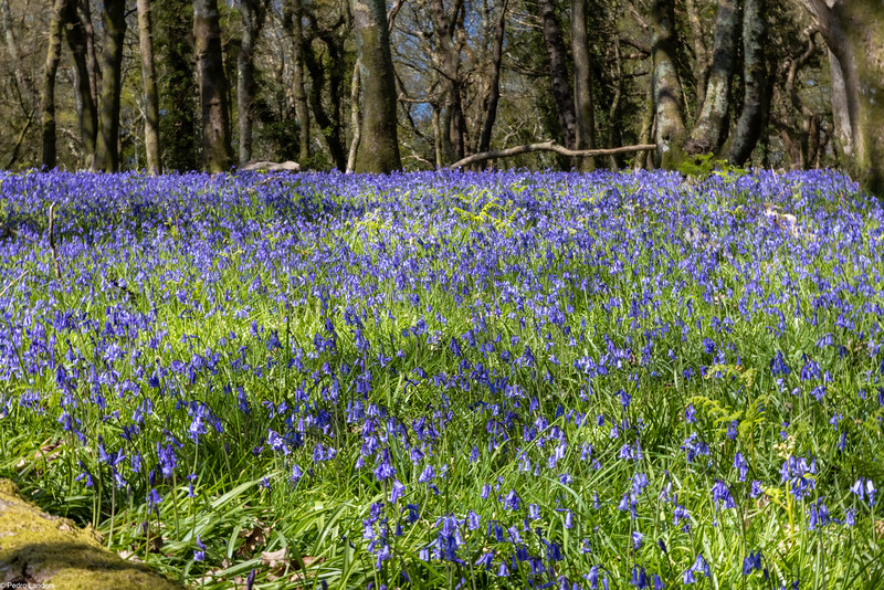 Bluebells in Heather's Wood