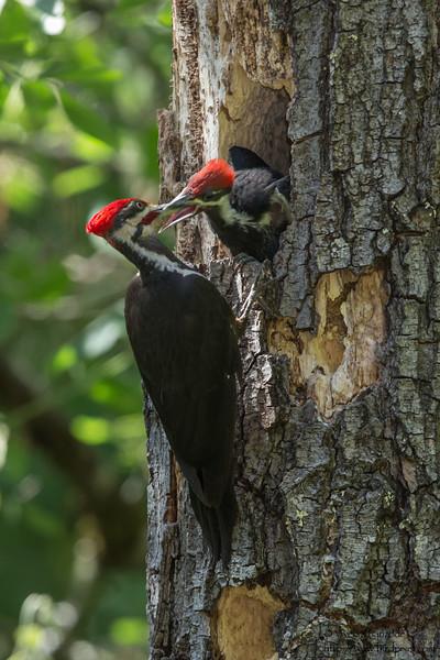 Pileated Woodpecker - Healdsburg, CA, USA