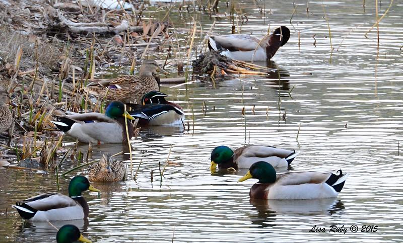 Wood Duck and Mallards - 2/1/2015 - Poway Pond