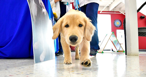 7/25/2019 Mike Orazzi | Staff Chippens Hill Veterinary Hospital's Emily Elliot's Golden Retriever Oakley,4 months, during the Dog Days of Summer program held at the Imagine Nation, A Museum Early Learning Center in Bristol Thursday morning.