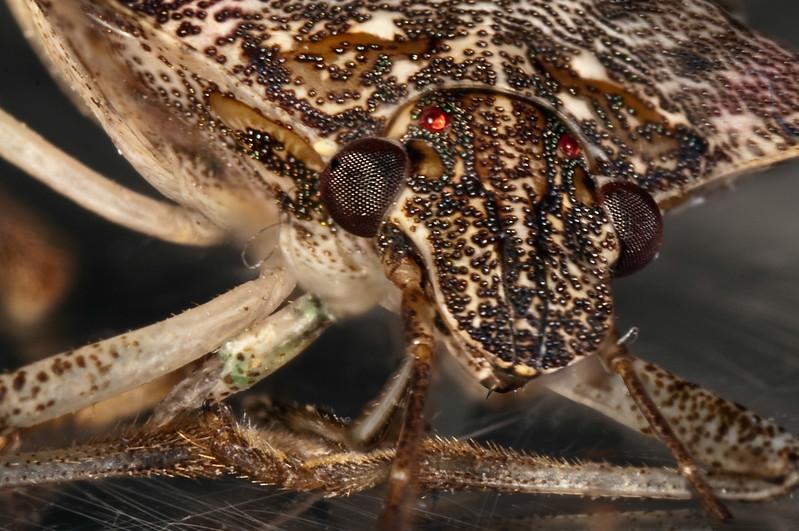 Stink-Bug-Portrait-crop.jpg