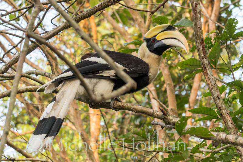 Great Hornbill, Wildlife Alliance Release Station, Chi Phat, Cambodia