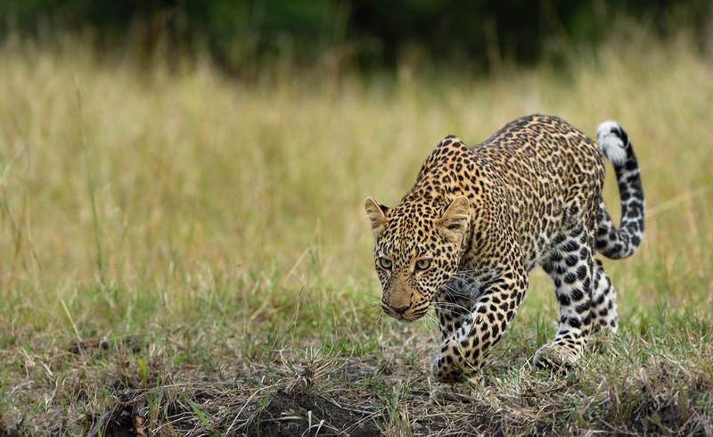 Leopard-stealth-stalking-masaimara-2.jpg