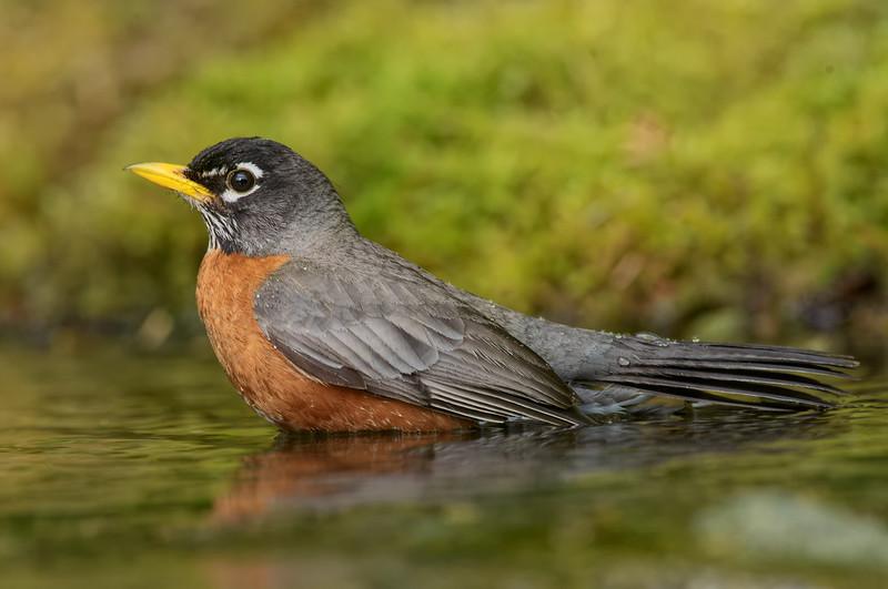 Amercian Robin