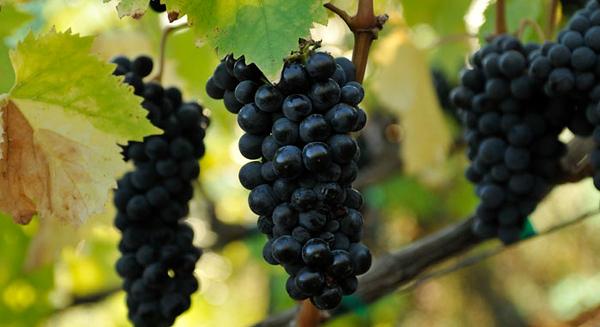 Lamorinda Vineyards