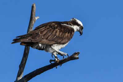 Babcock Osprey