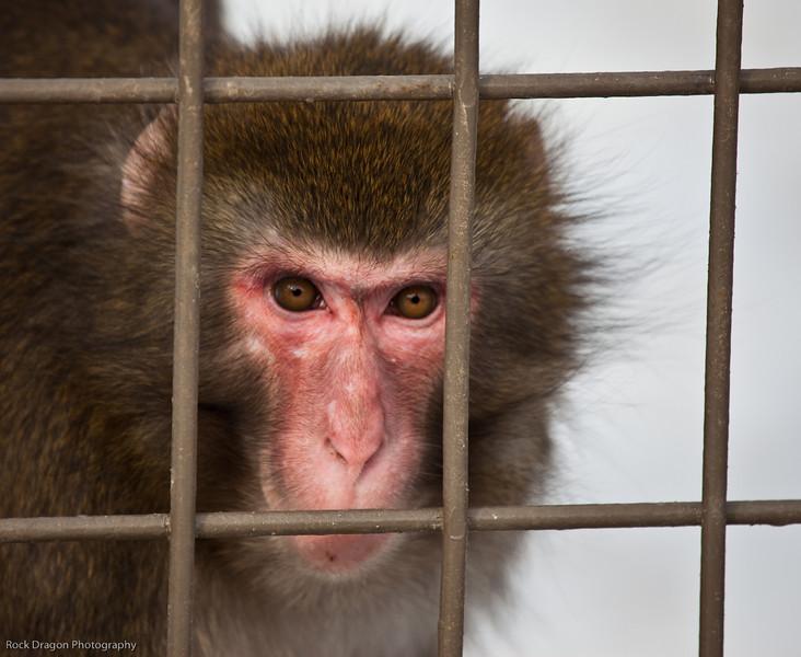 Japanese Macaque, Calgary Zoo Jan. 31