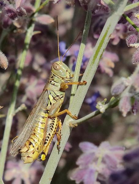 Grasshopper in Lilac.jpg