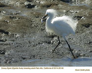 Snowy Egret A26146.jpg
