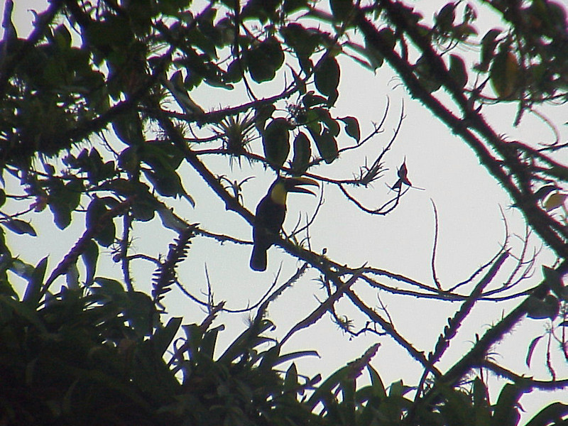 Chestnut-mandibled Toucan at El Gavilan Lodge Costa Rica 2-11-03 (50898089)